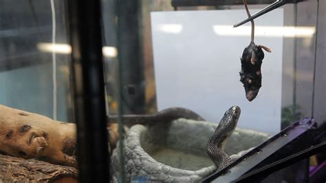 How to Feed a Boa Constrictor | Pet Snakes - YouTube