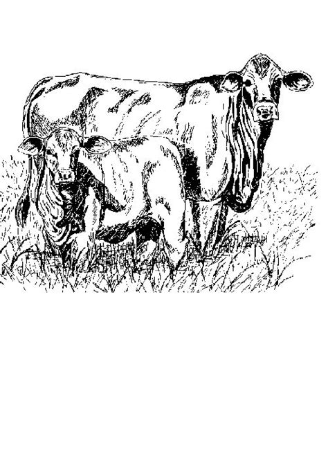 Cow Coloring Pages - Coloringpages1001