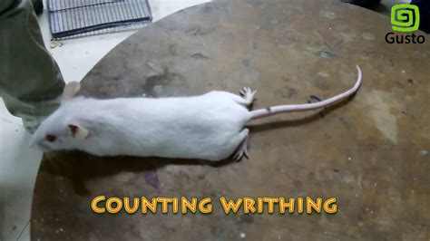 Acetic Acid Induced Writhing Test for Analgesic Effect