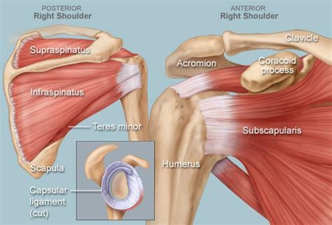 What is the Rotator Cuff, and Why do so Many People Injure