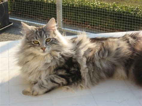 The colors of a Norwegian Forest Cat - Noorse Boskat