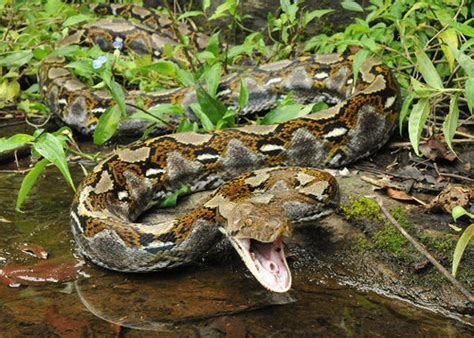5 Interesting Facts About Reticulated Pythons | Hayden's