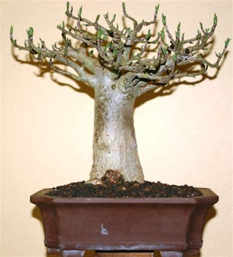 How to Grow a Baobab Tree | Everything about Baobab