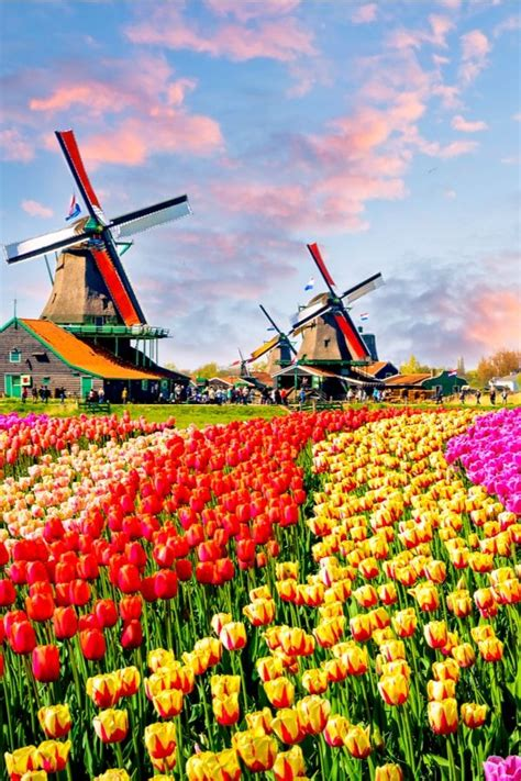 Landscape with tulips, traditional dutch windmills and