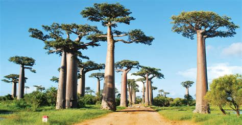 Baobab: The Largest Succulent Plant in the World | World