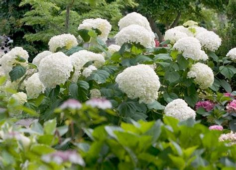 Hydrangea arborescens 'Strong Annabelle' (Abetwo
